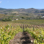 macabeo-vineyard